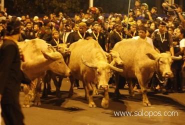 Kerbau Bule / Kebo Bule - Foto: Solopos