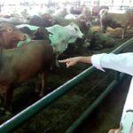 Presiden Jokowi dan sapi (IST)