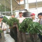 Pemusnahan cabai berbakteri dari China (IST)